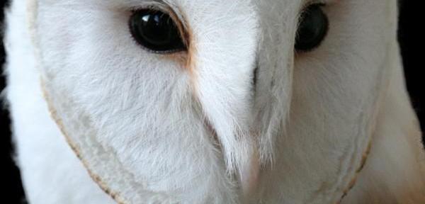 barbagianni-albino.jpg